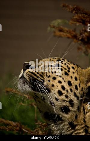 Amur Far Eastern Korean Leopard Panthera pardus orientalis looking up - Stock Photo