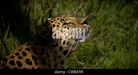 Jaguar Panthera onca looking upwards - Stock Photo
