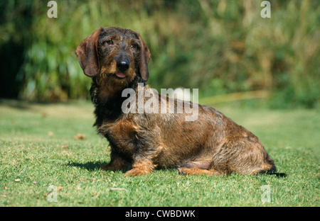 SIDE VIEW OF WIRE-HAIRED DACHSHUND SITTING IN YARD / IRELAND - Stock Photo