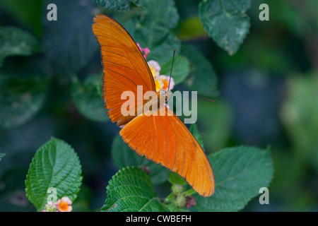 Julia Heliconia butterfly (Dryas iulia) extracting nectar from a flower at The Butterfly Farm, Costa Rica. - Stock Photo