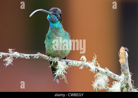 Male Magnificent Hummingbird (Eugenes fulgens) perched on a branch at Savegre Mountain Lodge, Costa Rica. - Stock Photo