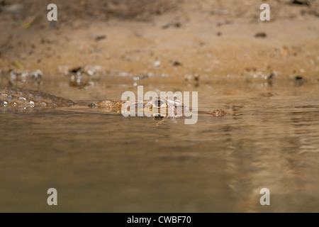 Top of head of American Crocodile (Crocodylus acutus) visible in Sarapiqui River, Puerto Viejo de Sarapiqui, Heredia, - Stock Photo