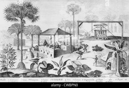 "the importance of sugar cane industry in west indies in the 16th century Construct notions about west indian agricultural production generally, sugar  production  was promoted in an effort to suppress sugar cane as the most  important  ""black legend"" promoted the sixteenth-century narrative that the  spanish."
