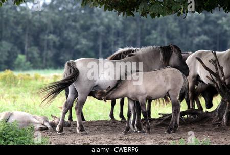 Konik horse.Horse.Wild Horses.Herd - Stock Photo