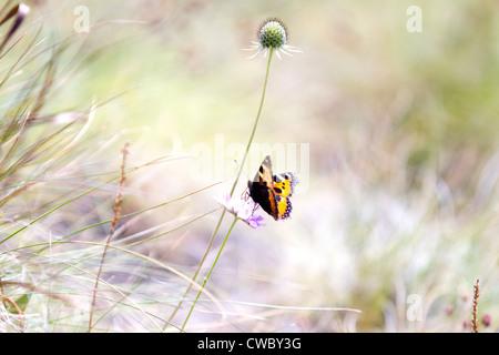 High Brown Fritillary (Fabriciana adippe) butterflies - Stock Photo