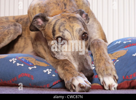 Close up portrait of a beautiful brindle coloured greyhound resting on his bed. - Stock Photo