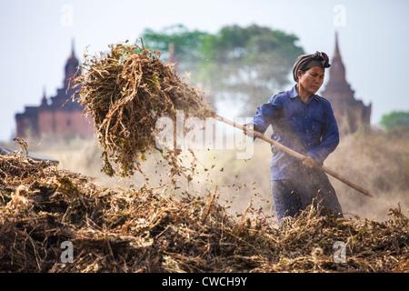 Woman pitching grain in Bagan, Myanmar - Stock Photo