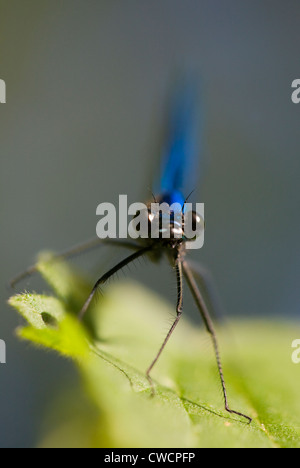 BANDED DEMOISELLE (Calopteryx splendens) male, River Ouse, Sussex, UK - Stock Photo