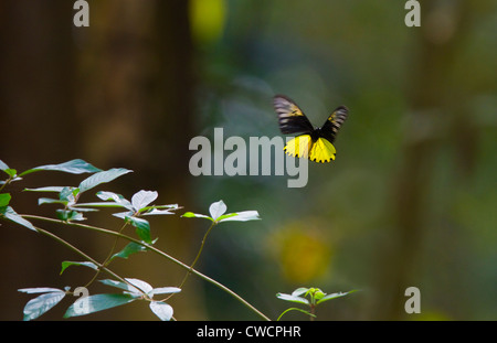 COMMON BIRDWING (Troides helena) in flight through rainforest, Koh Ra island, southern Thailand. - Stock Photo