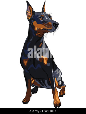 portrait of serious dog Miniature Pinscher (King of the Toys) breed sitting - Stock Photo