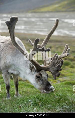 Svalbard reindeer, Rangifer tarandus platyrhynchus, Spitsbergen, Svalbard, Arctic - Stock Photo