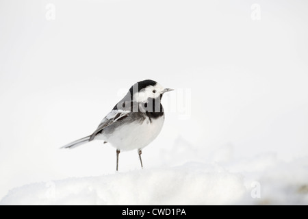 Pied Wagtail; Motacilla alba; in snow; Scotland; UK; winter - Stock Photo