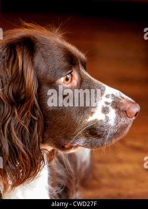 An English Springer Spaniel, liver and white in colour looking sideways in a portrait - Stock Photo
