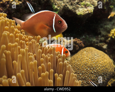 Orange clown fish swimming amidst brain coral and other hard stony coral in Challenger Bay on the Great Barrier - Stock Photo