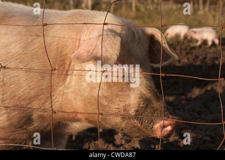 Happy Pig Portrait - Stock Photo