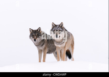 Two wolves on a snow hill in Polar Zoo, Bardu, Norway - Stock Photo