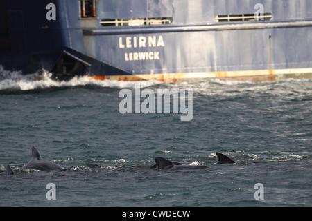Long-finned Pilot Whales Globicephala melas Lerwick Shetland Islands Scotland UK - Stock Photo