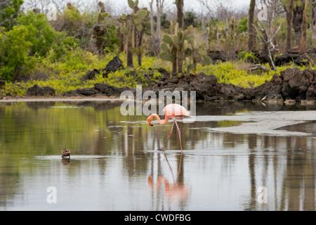 Ecuador, Galapagos, Northern Santa Cruz Island, Dragon Hill area. Greater flamingo in pond. - Stock Photo