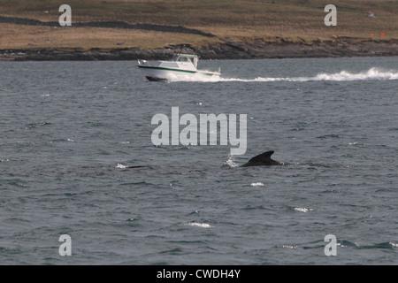 Long-finned Pilot Whale Globicephala melas Lerwick Shetland Islands Scotland UK - Stock Photo