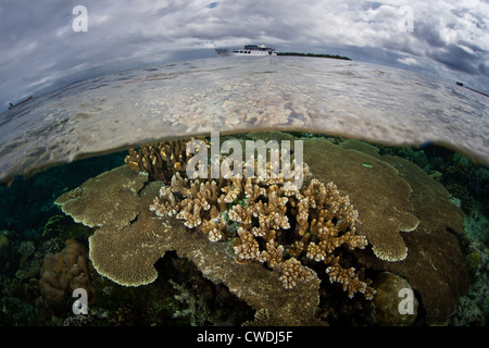 Hard corals, mainly Acropora species, grow on a shallow reef flat with a liveaboard dive boat lying at anchor in - Stock Photo