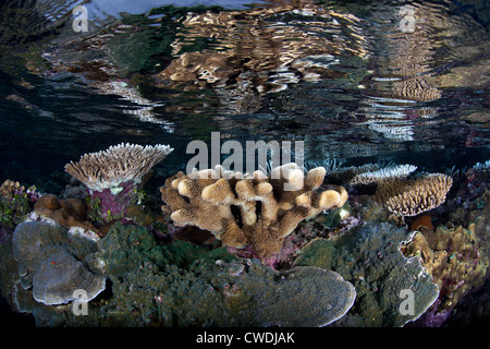 Mirrored in the surface, hard corals grow on a shallow reef flat.  These coral colonies provide habitat for small - Stock Photo