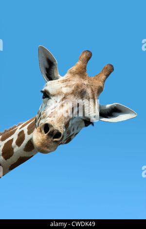 Giraffe portrait, Giraffa camelopardalis tippelskirchi - Stock Photo