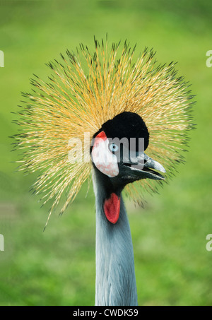 East African Crowned crane, Balearica regulorum - Stock Photo