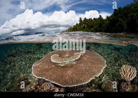 A large table coral, Acropora sp., grows on a shallow reef flat near a limestone island.  This coral type grows - Stock Photo