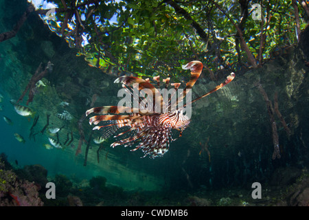 A lionfish, Pterois volitans, swims under the canopy of a mangrove forest.  Its spines can inflict painful wounds. - Stock Photo