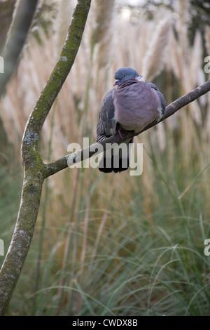 Wood pigeon (Columba palumbus) sitting on a branch. - Stock Photo