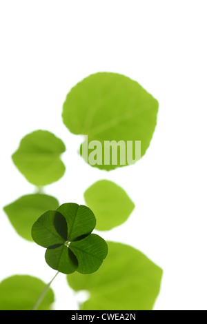 Bright Four Leaf Clover On White Background - Stock Photo