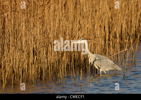 Grey heron (Ardea cinerea) adult feeding at edge of reedbed. Norfolk, England. November. - Stock Photo