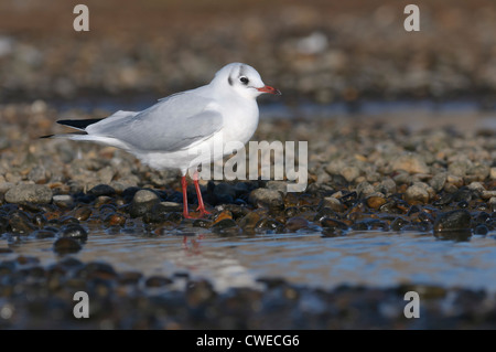 Black-headed gull (Larus ridibindus) adult in winter plumage. Norfolk, England. November. - Stock Photo