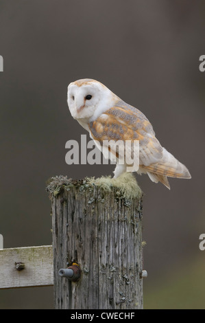 Barn owl (Tyto alba) adult perched on gatepost. Scotland. Captive-bred falconer's bird photographed in controlled - Stock Photo