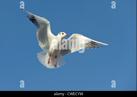 Black-headed gull (Larus ridibundus) winter plumage adult in flight. Norfolk. November. - Stock Photo