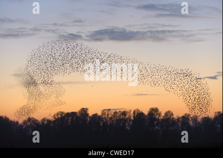 Flock of common starlings (Sturnus vulgaris) assembling for roost at dusk. Fen Drayton RSPB reserve in Cambridgeshire. - Stock Photo