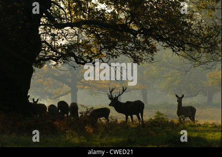 Red deer (Cervus elephas) stag and hinds in autumn at Richmond Park in Surrey. November. - Stock Photo