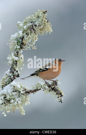 Chaffinch (Fringilla coelebs) adult male in winter. Speyside, Scotland. February. - Stock Photo