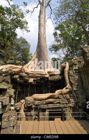 Vertical close up of roots of a Spung tree growing through the ruins of Ta Prohm aka Rajavihara or Tomb Raider temple, - Stock Photo