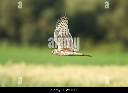 Hen Harrier female Circus cyaneus in flight hunting over fields for food - Stock Photo