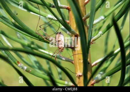 Long-leg spider on a pine tree - Stock Photo