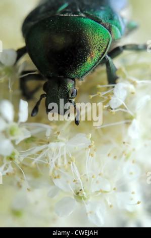 Rose chafer (Cetonia aurata) on flowers of meadowsweet (Filipendula ulmaria) - Stock Photo