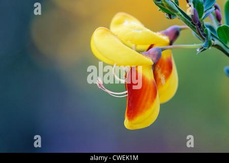 Flower of Cytisus scoparius, 'Firefly'. Common or Scotch Broom. A deciduous, evergreen shrub. - Stock Photo