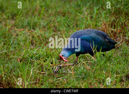 Purple Swamphens Porphyrio porphyrio poliocephalus feeding in wet grass - Stock Photo