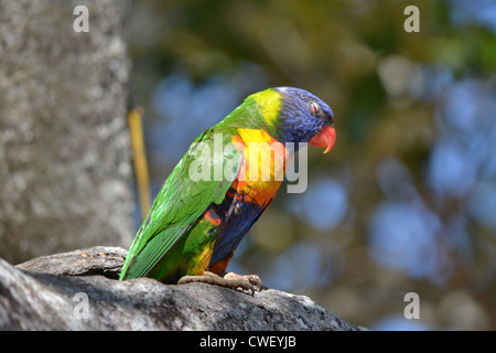 Rainbow Lorikeet, (Trichoglossus haematodus) nest in tree hollow - Stock Photo