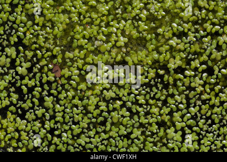 Duckweed (Lemna sp. ). Reproduction is most frequent by asexual clonal spread; vegetative reproduction. - Stock Photo