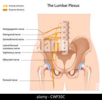 The lumbar plexus - Stock Photo