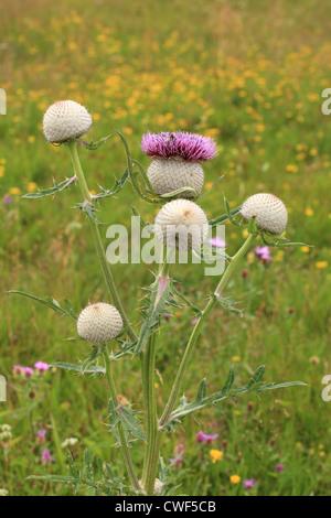 Bull thistle (Cirsium vulgare). Location: Nizke Tatry, Slovakia. - Stock Photo