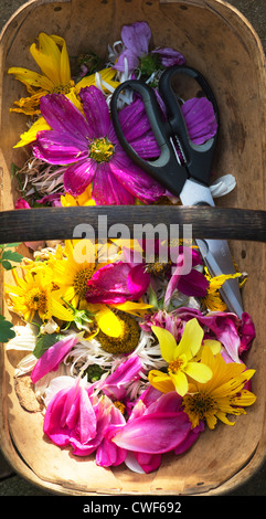 Dead headed flowers with scissors in a wooden trug - Stock Photo
