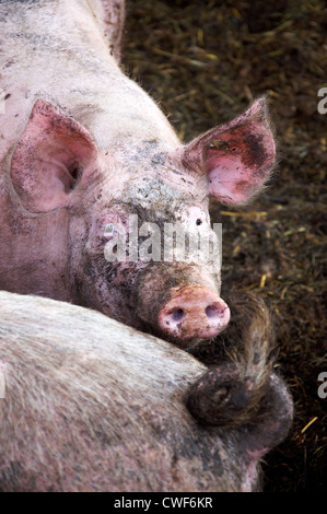 Dirty but happy pig living in an organic farm with lots of dirt and freedom - Stock Photo